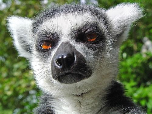 lemur_cancelled